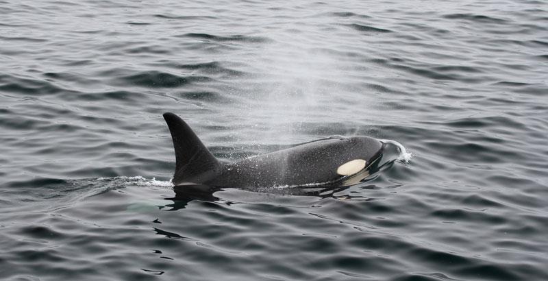 Pescadores margariteños avistaron un grupo de orcas en Cabo Negro