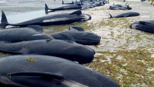 Cerca de un centenar de ballenas piloto murieron varadas en Nueva Zelanda