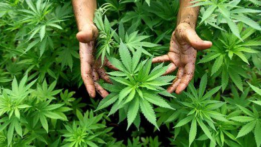 Oficial: ONU reconoce las propiedades medicinales de la marihuana