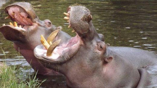 Advierten que los hipopótamos de Pablo Escobar suponen una amenaza ambiental y piden sacrificarlos
