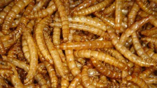 Oficialmente: UE reconoce que el gusano de la harina es un alimento seguro