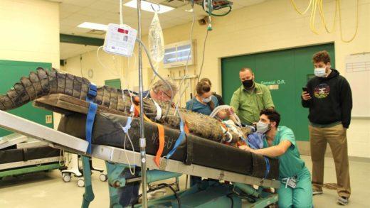 Cocodrilo de 154 kg fue operado para extraerle un zapato del estómago (+Video)
