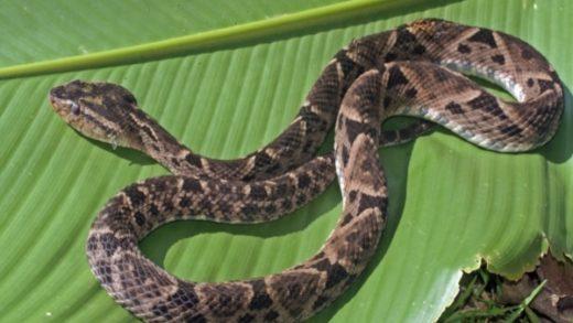 Trujillo es declarado zona endémica para picaduras de serpientes
