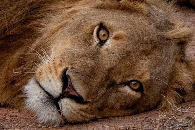 Ocho leones de un zoológico de la India dan positivo para COVID-19
