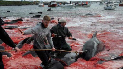 Matanza de casi 1.500 delfines en las islas Feroe causa indignación